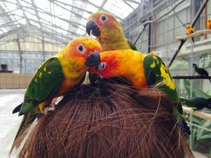 インコちゃん 鳥の巣