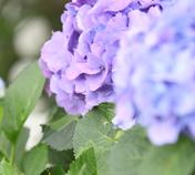 紫陽花って奥が深い。